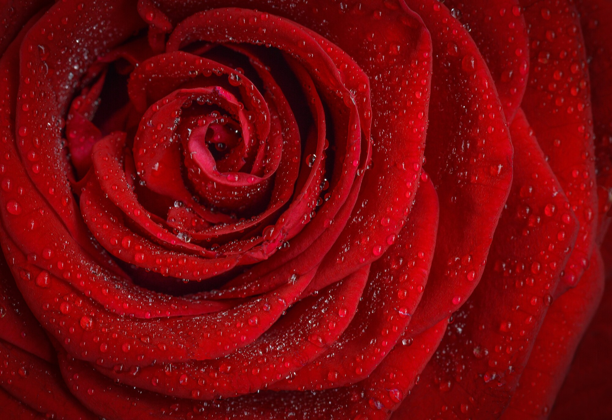 Why Do People Love Roses? This Is What You Need to Know
